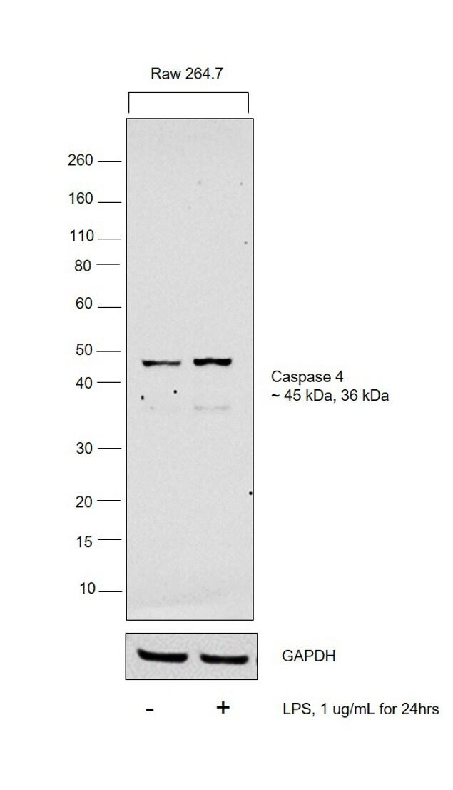 Caspase 11 Antibody in Cell treatment