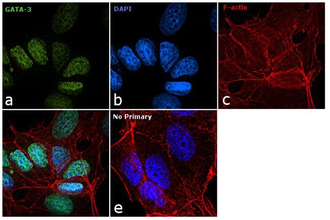 Gata-3 Antibody in Immunofluorescence (IF)