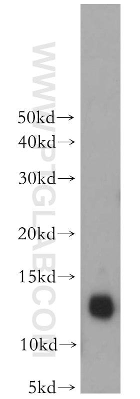 Thioredoxin Antibody in Western Blot (WB)