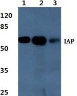 ALPI Primary Antibodies