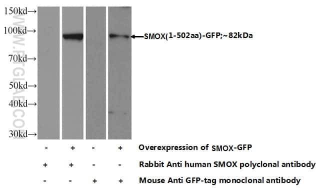 SMOX Antibody in Western Blot (WB)