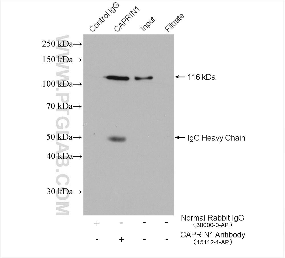 CAPRIN1 Antibody in Immunoprecipitation (IP)