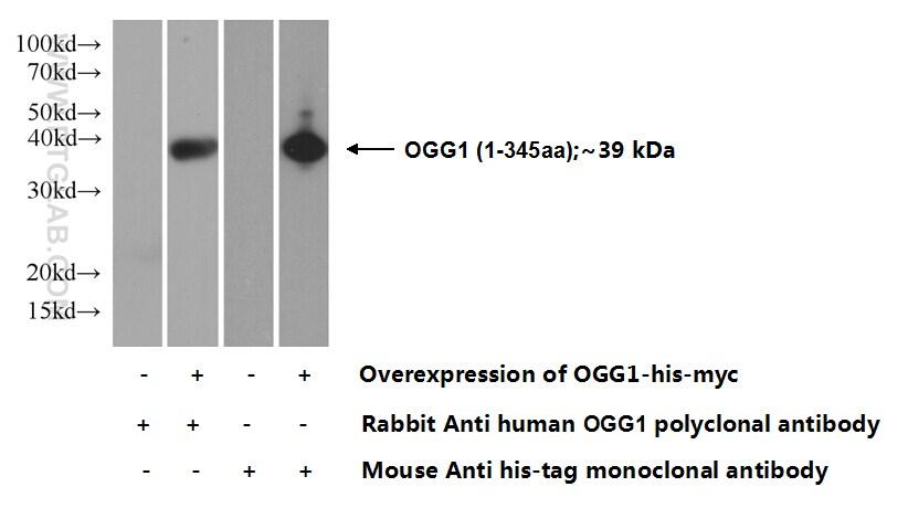 OGG1 Antibody in Western Blot (WB)