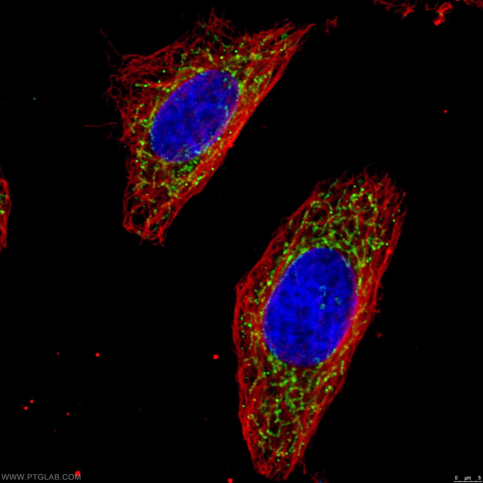 OGDH Antibody in Immunofluorescence (IF)