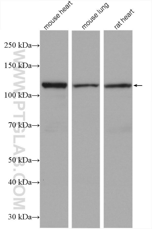 OGDH Antibody in Western Blot (WB)