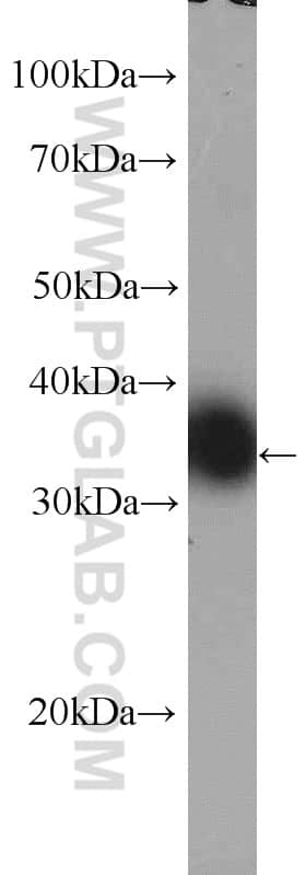TXNL1 Antibody in Western Blot (WB)