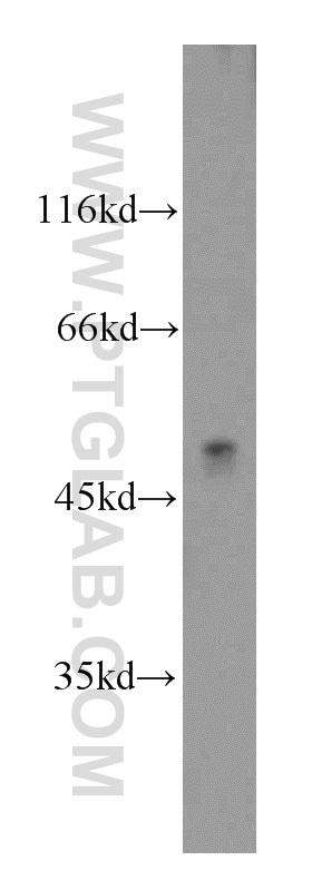 ATP6AP1 Antibody in Western Blot (WB)