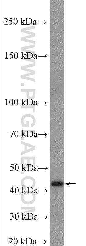 PRMT6 Antibody in Western Blot (WB)