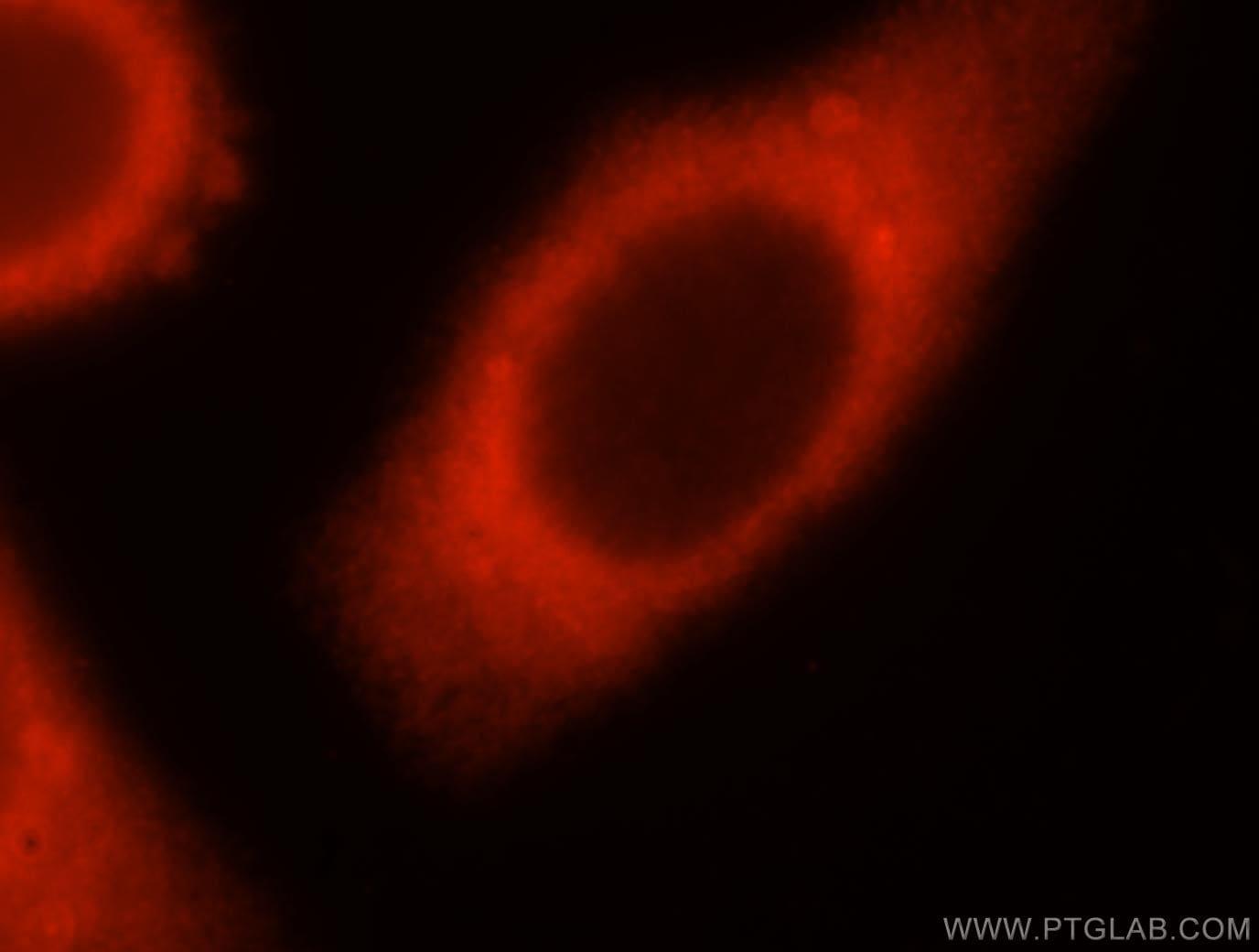 SYT17 Antibody in Immunofluorescence (IF)