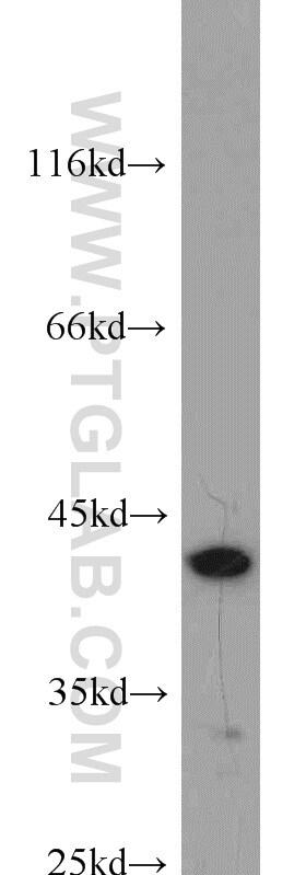 Bif-1 Antibody in Western Blot (WB)