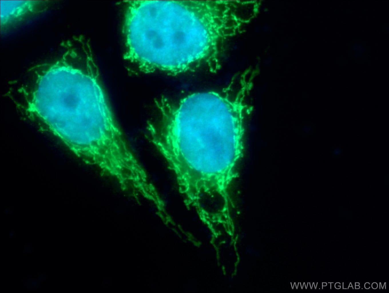 LONP1 Antibody in Immunofluorescence (IF)