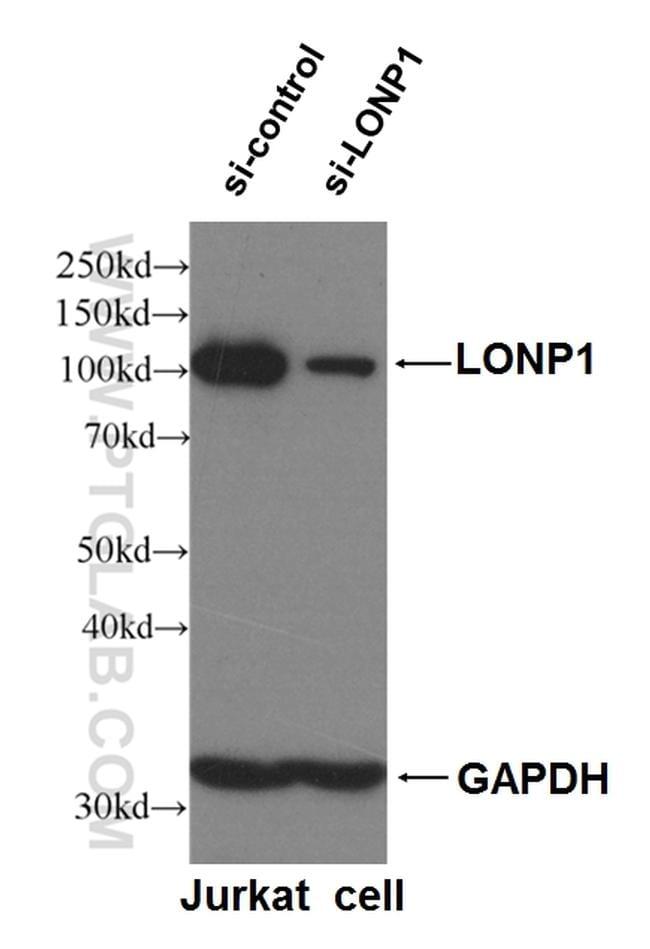 LONP1 Antibody in Western Blot (WB)