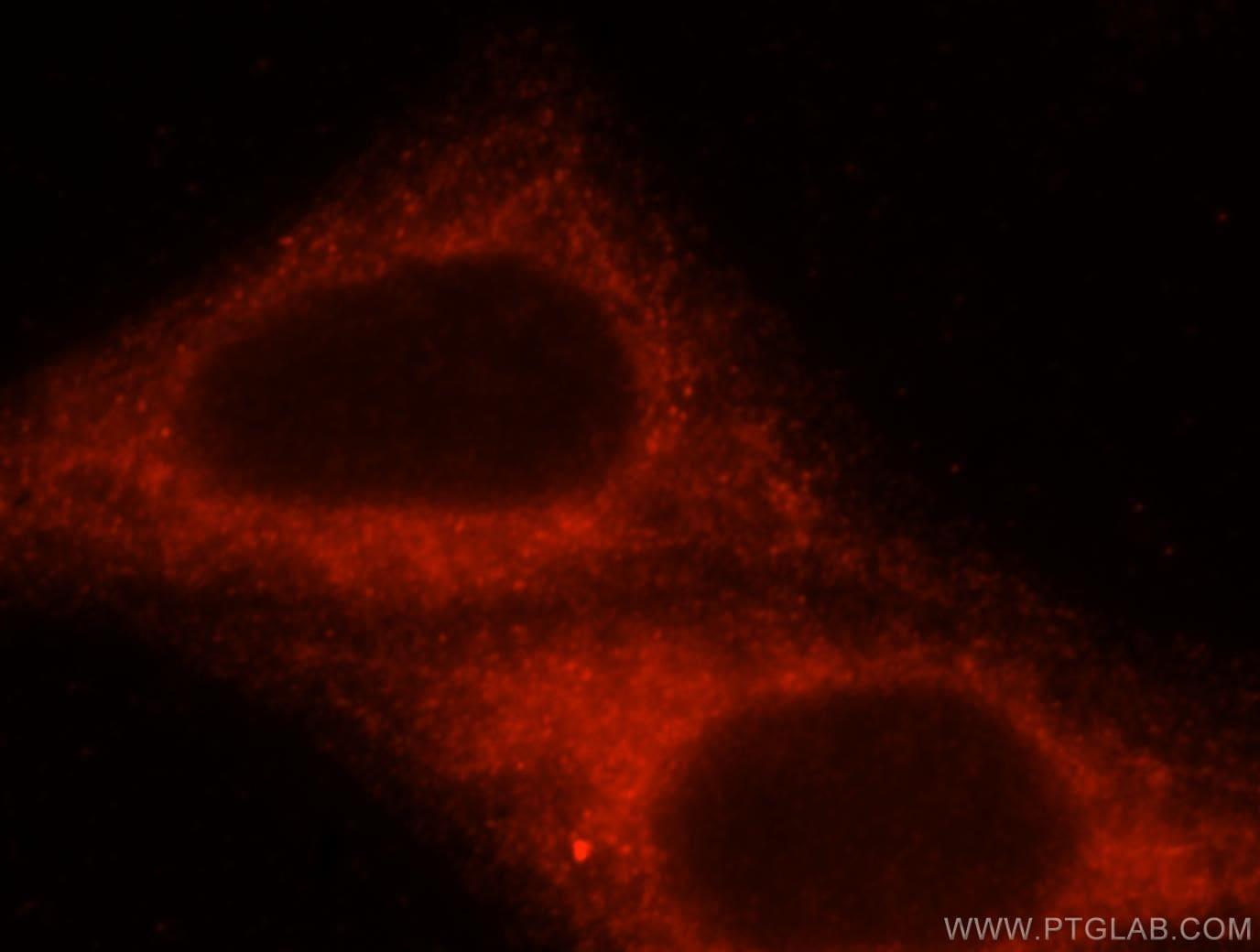 HOOK3 Antibody in Immunofluorescence (IF)