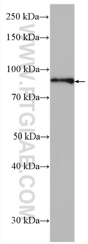 HOOK3 Antibody in Western Blot (WB)