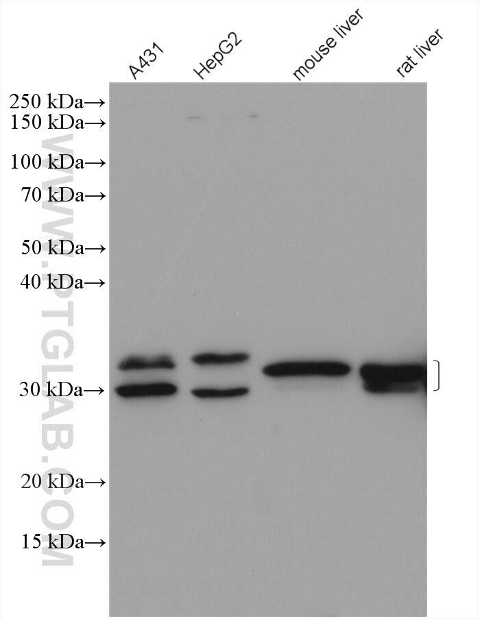 LHPP Antibody in Western Blot (WB)