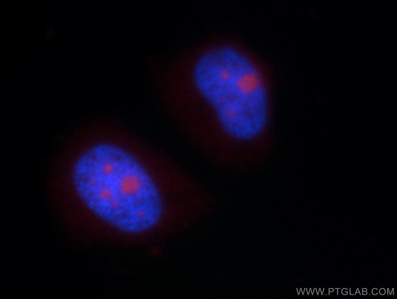 NHP2L1 Antibody in Immunofluorescence (IF)