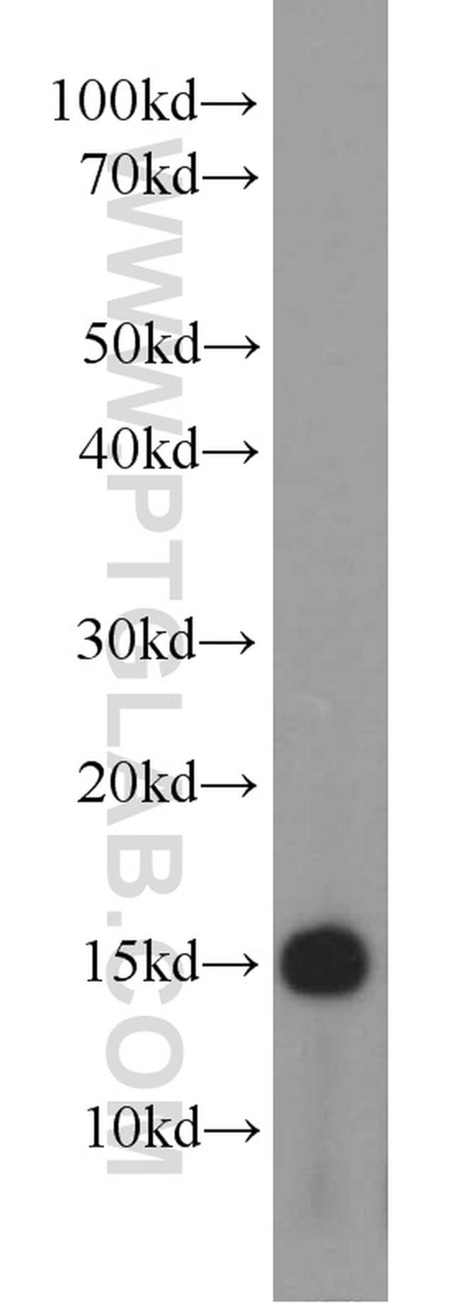 NHP2L1 Antibody in Western Blot (WB)