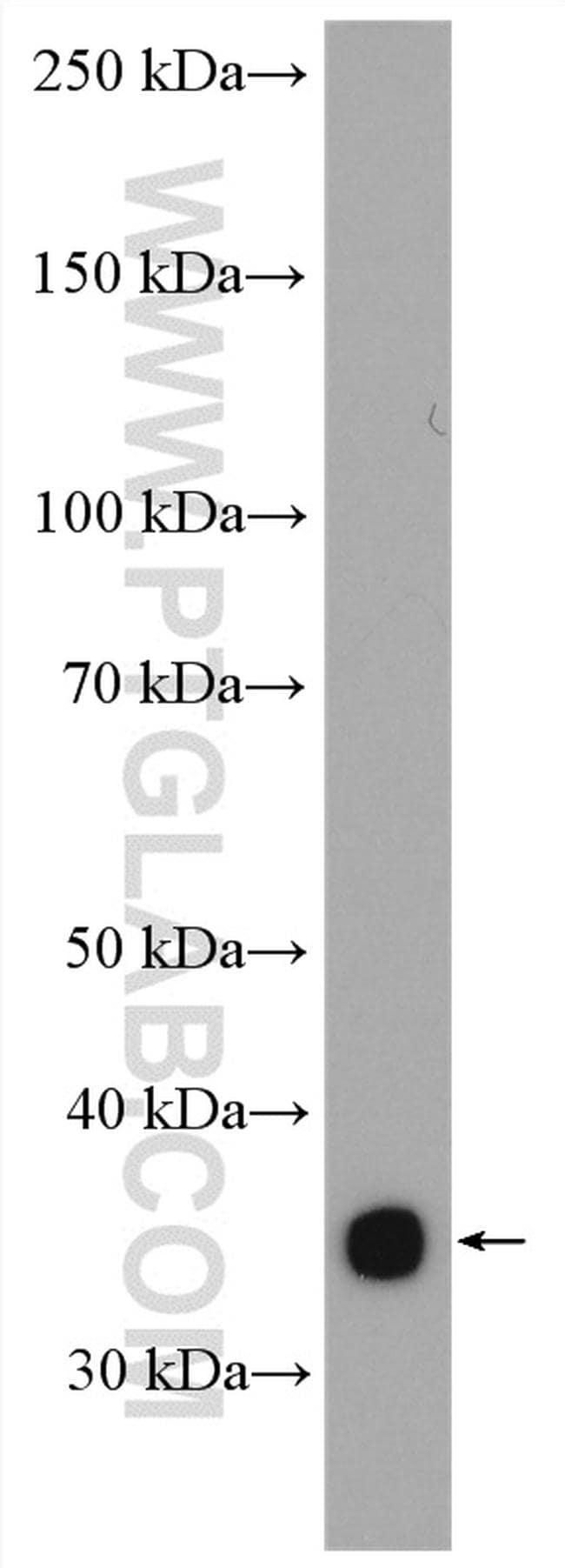 Insulin Antibody in Western Blot (WB)