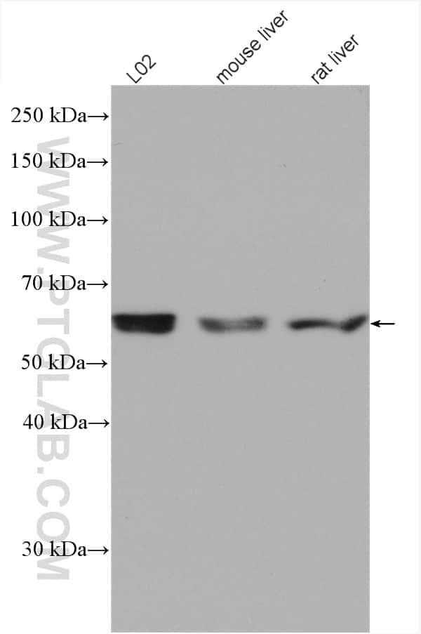 PPP2R1A Antibody in Western Blot (WB)