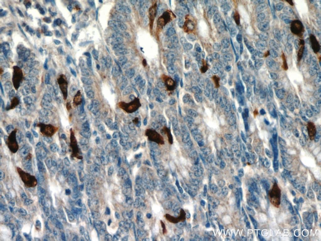 Glucagon Antibody in Immunohistochemistry (Paraffin) (IHC (P))