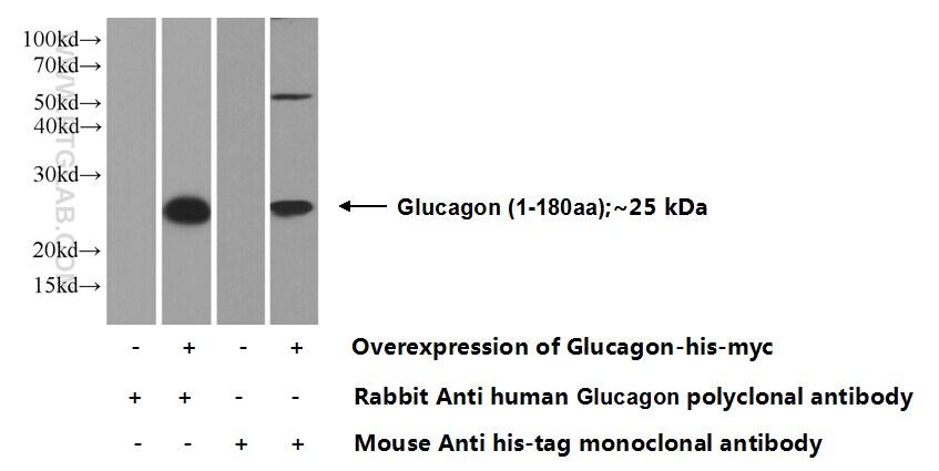 Glucagon Antibody in Western Blot (WB)
