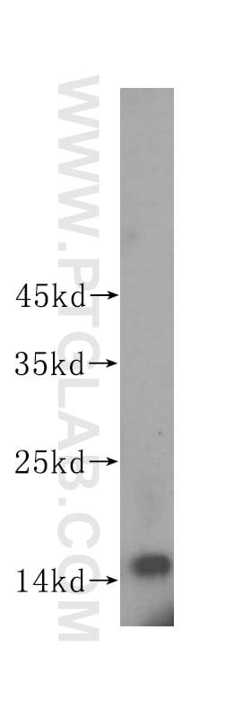 ISG15 Antibody in Western Blot (WB)