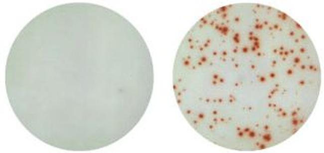 IL-17A Antibody in ELISA (ELISA)