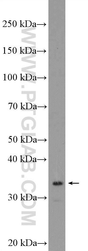 FBL Antibody in Western Blot (WB)