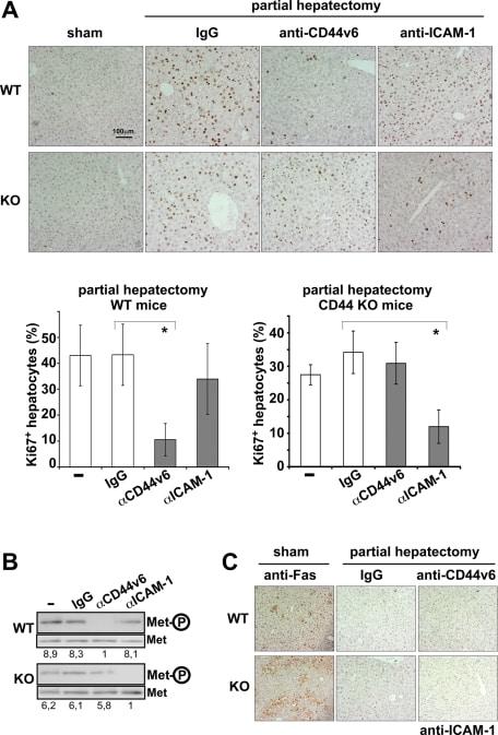 CD54 (ICAM-1) Antibody