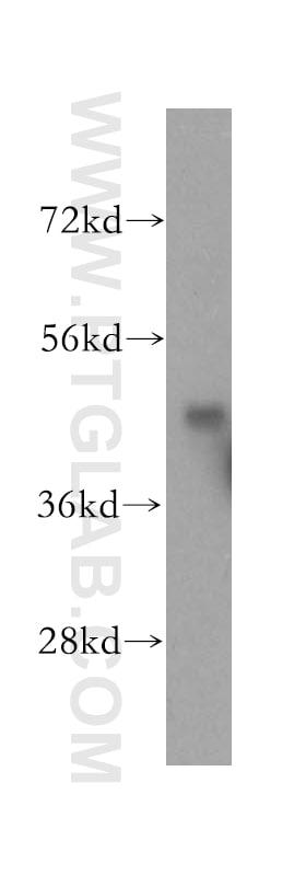 KPTN Antibody in Western Blot (WB)