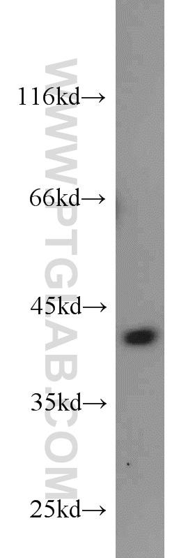 MCL1 Antibody in Western Blot (WB)