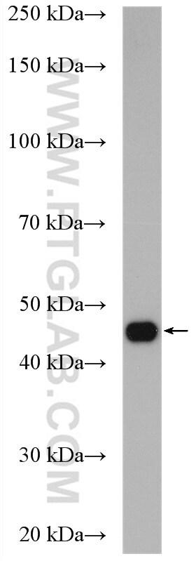 cyclin I Antibody in Western Blot (WB)