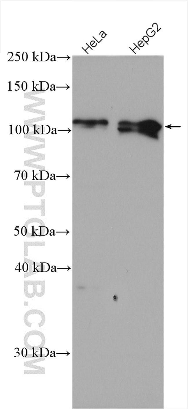NRF2/NFE2L2 Antibody in Western Blot (WB)