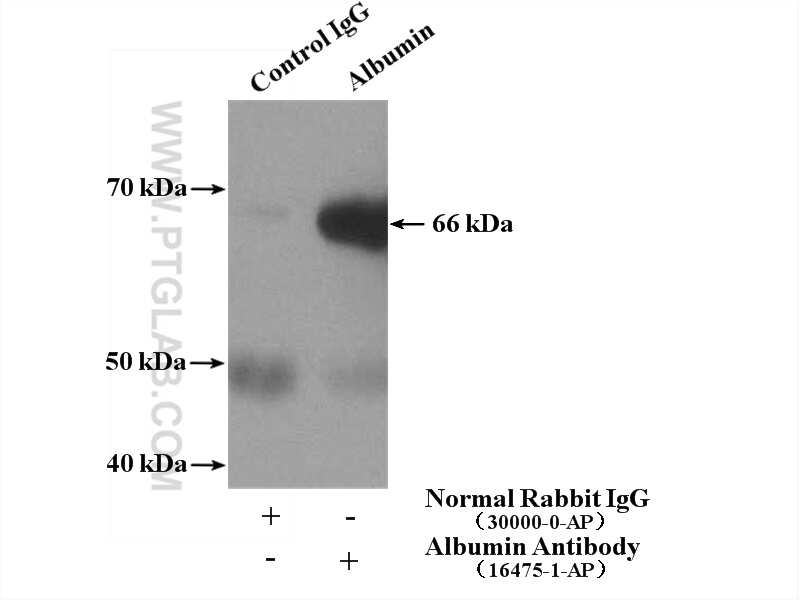 Albumin Antibody in Immunoprecipitation (IP)