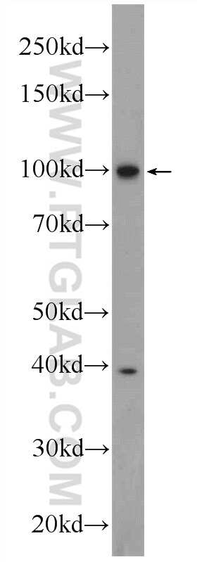 MVP/LRP Antibody in Western Blot (WB)