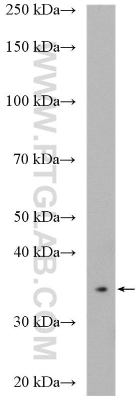 CPOX Antibody in Western Blot (WB)
