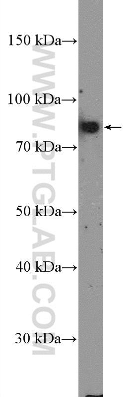 TBX3 Antibody in Western Blot (WB)