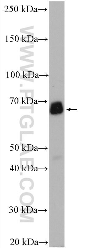 PCK1 Antibody in Western Blot (WB)