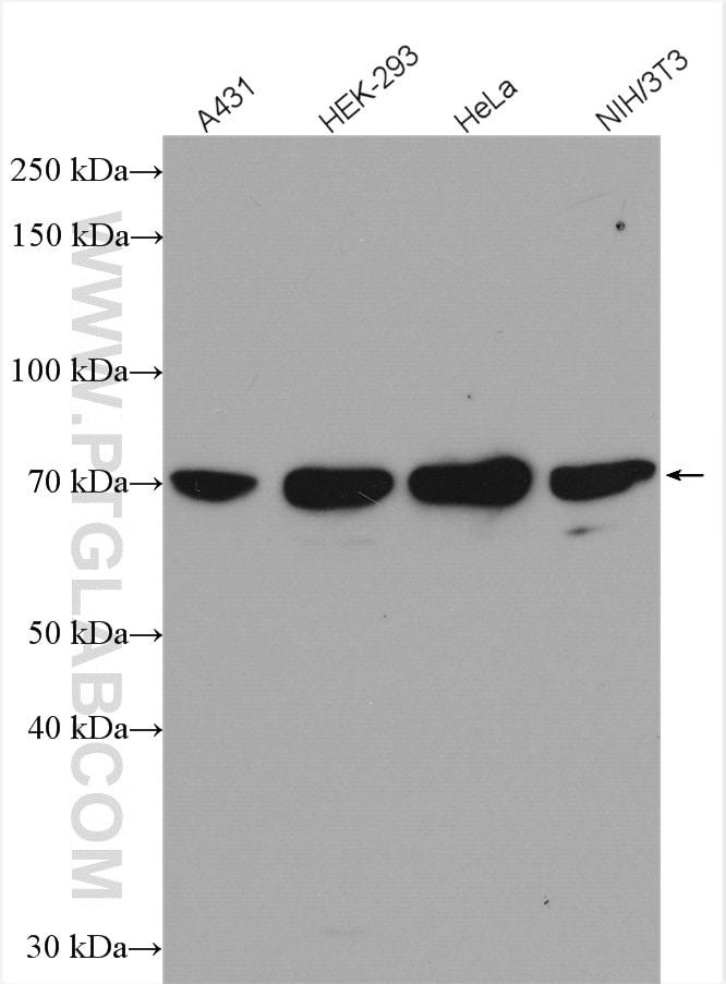 SRF Antibody in Western Blot (WB)
