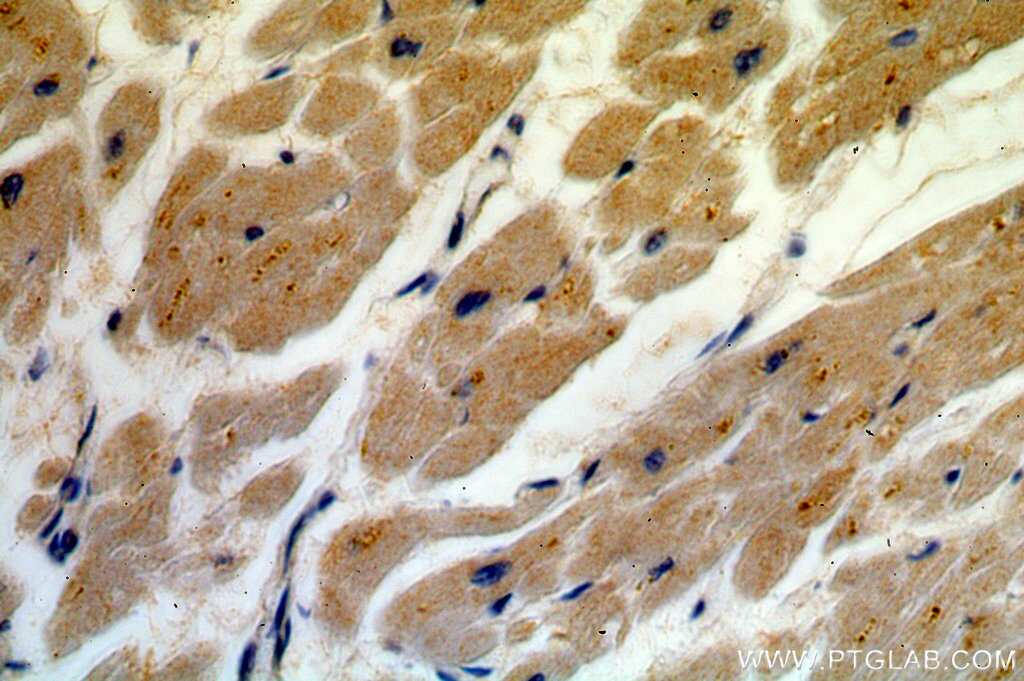 USP13 Antibody in Immunohistochemistry (Paraffin) (IHC (P))