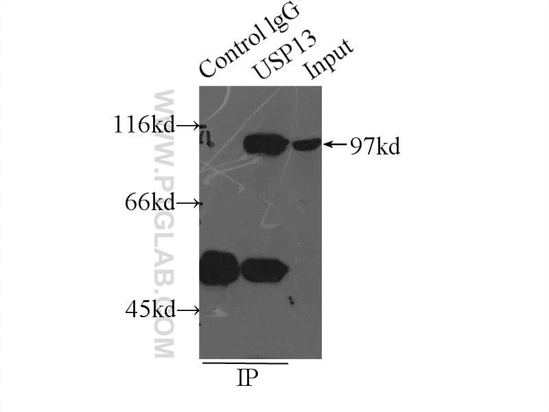 USP13 Antibody in Immunoprecipitation (IP)