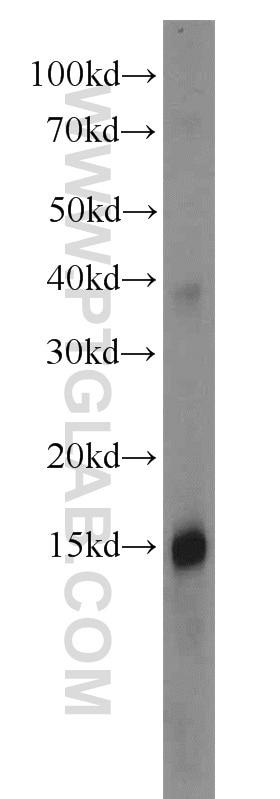Apolipoprotein A II Antibody in Western Blot (WB)