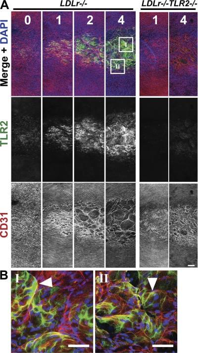 CD282 (TLR2) Antibody