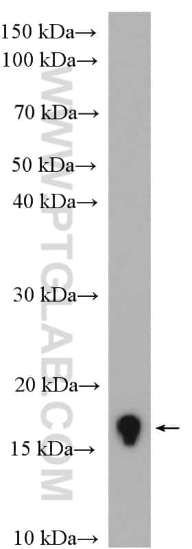 Histone-H3 Antibody in Western Blot (WB)