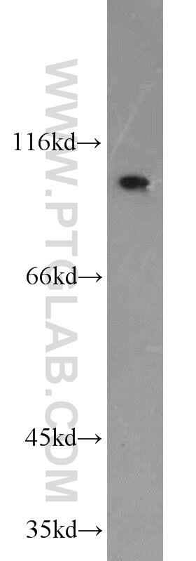 NLRX1 Antibody in Western Blot (WB)
