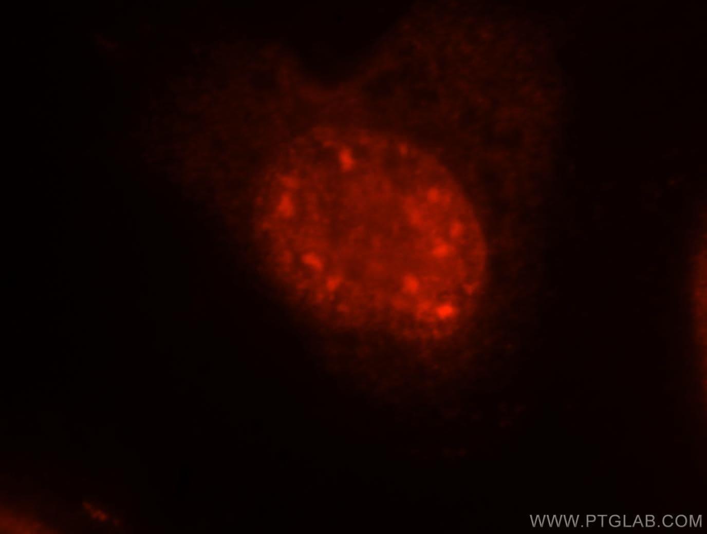 EIF4A3 Antibody in Immunofluorescence (IF)