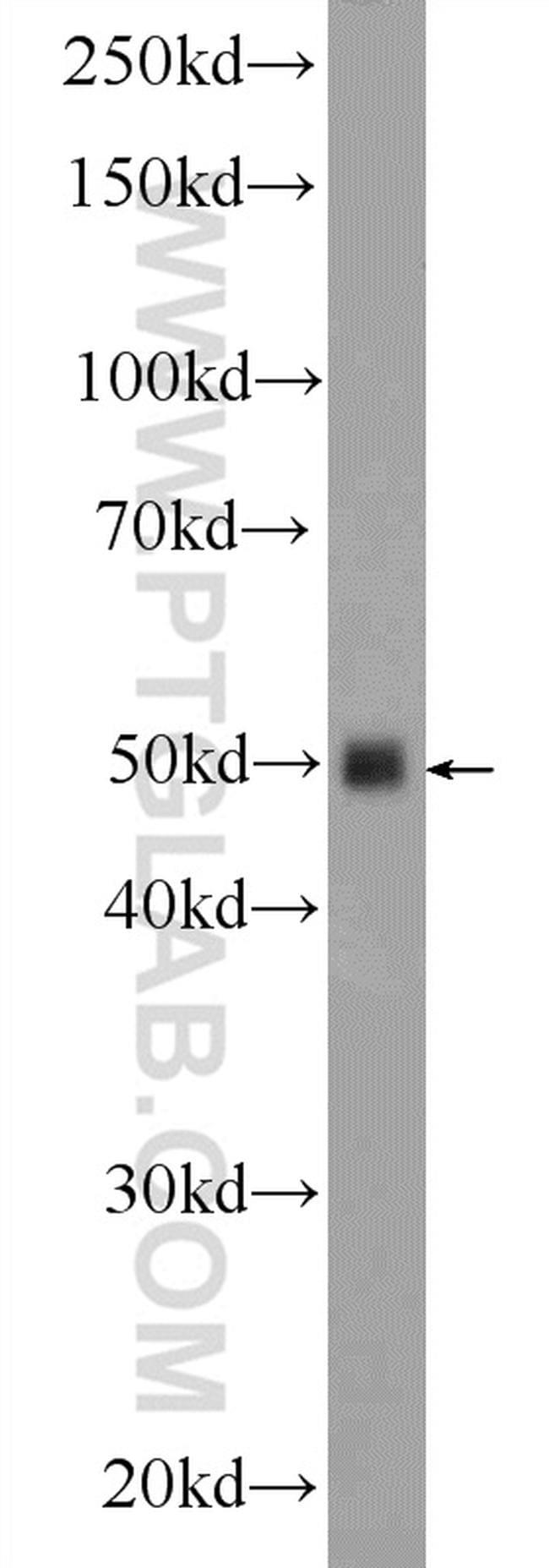 Inhibin beta A Antibody in Western Blot (WB)