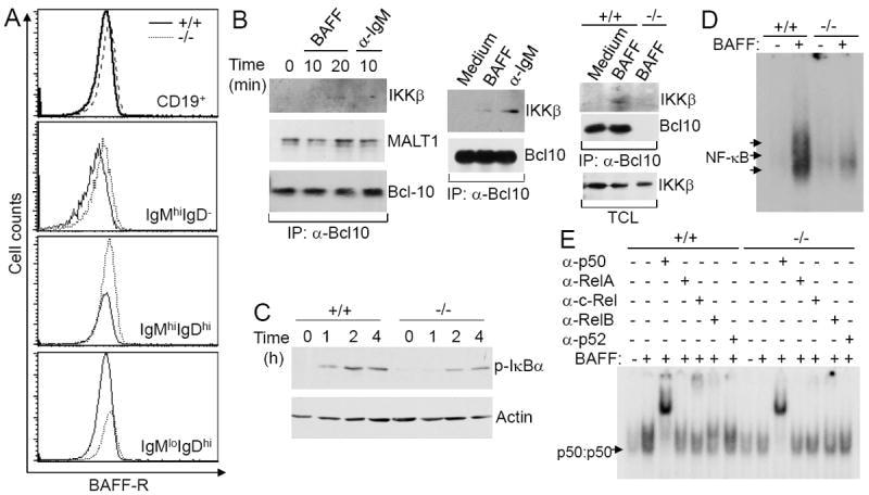 CD19 Antibody