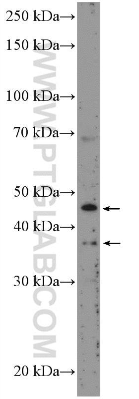 BMP9 Antibody in Western Blot (WB)