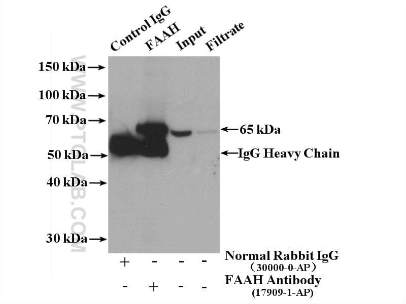 FAAH Antibody in Immunoprecipitation (IP)